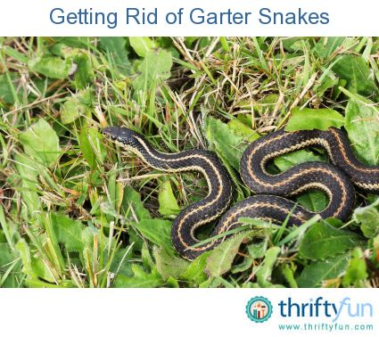 How to Get Rid of Garter Snakes | Snake, Yards and Gardens