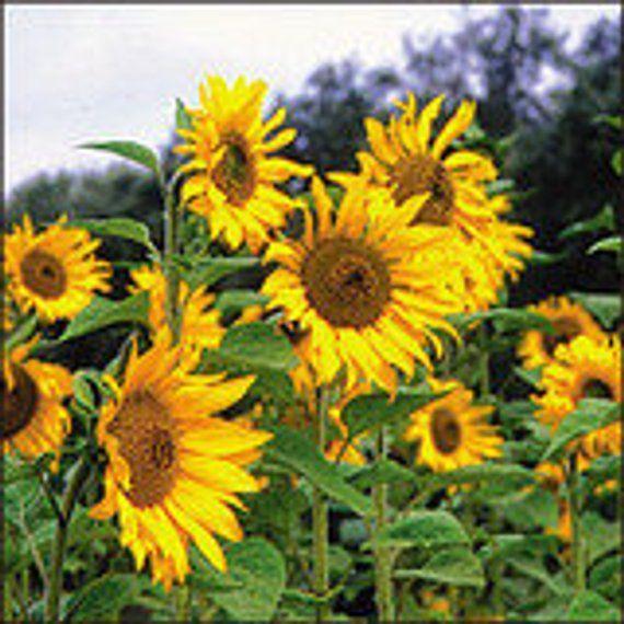 Sunflower Tarahumara Heirloom Organic Non Gmo 20 Seeds Seeds Garden Animals Garden Seeds