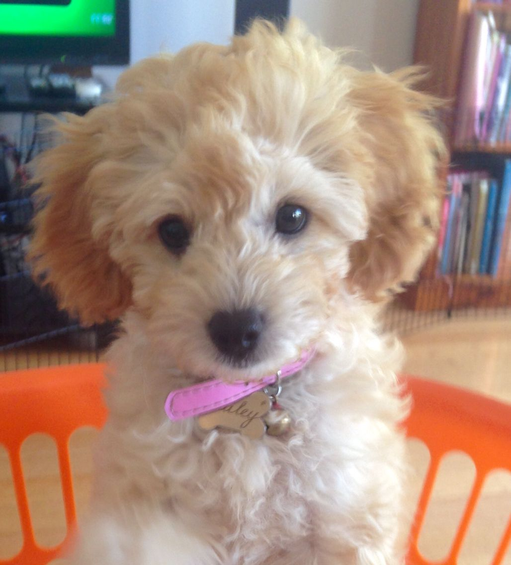 Bailey the toy cavoodle Cute dogs