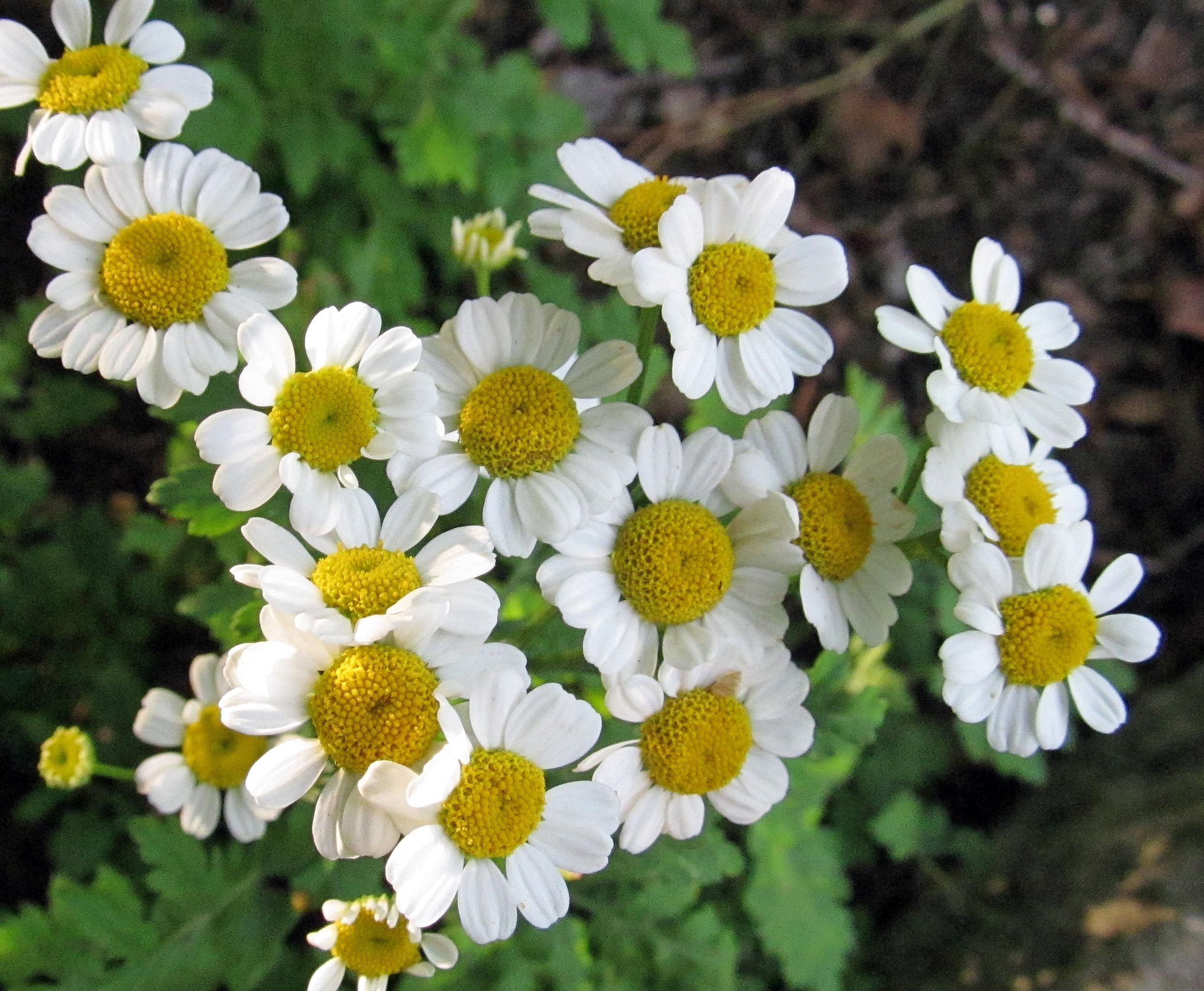Feverfew Tanacetum Parthenium Or Pyrethrum Parthenium Or Chrysanthemum Parthenium Photographed In A Wildflower Garden Wildflower Garden Wild Flowers Plants
