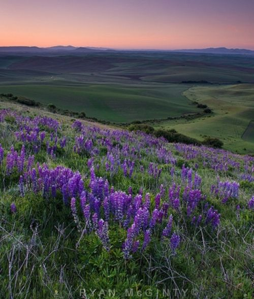 Palouse Lavender Lupines by Ryan Mcginty