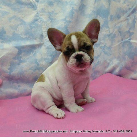 Female French Bulldog Puppy French Bulldog French Bulldog