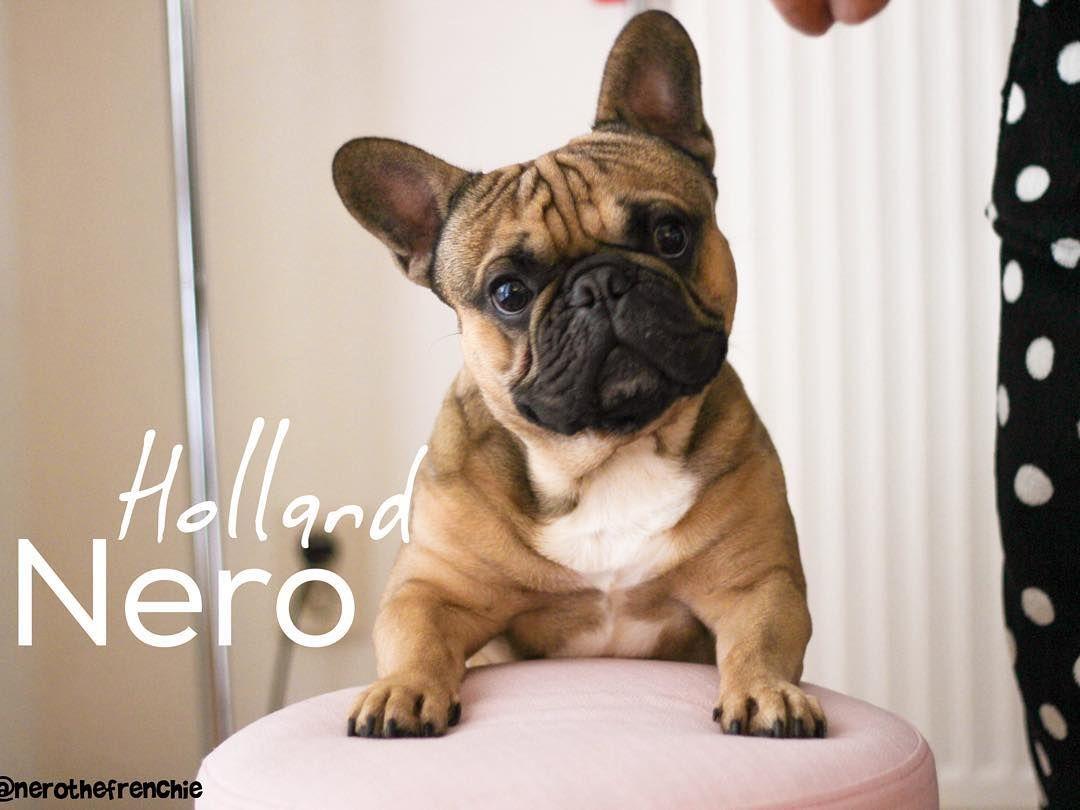 French Bulldog Puppy In New Holland Pa Pug Bulldog Puppies