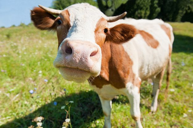 This cow who's in NECK RUB HEAVEN: | 14 Cows That Are Too Cute To Handle