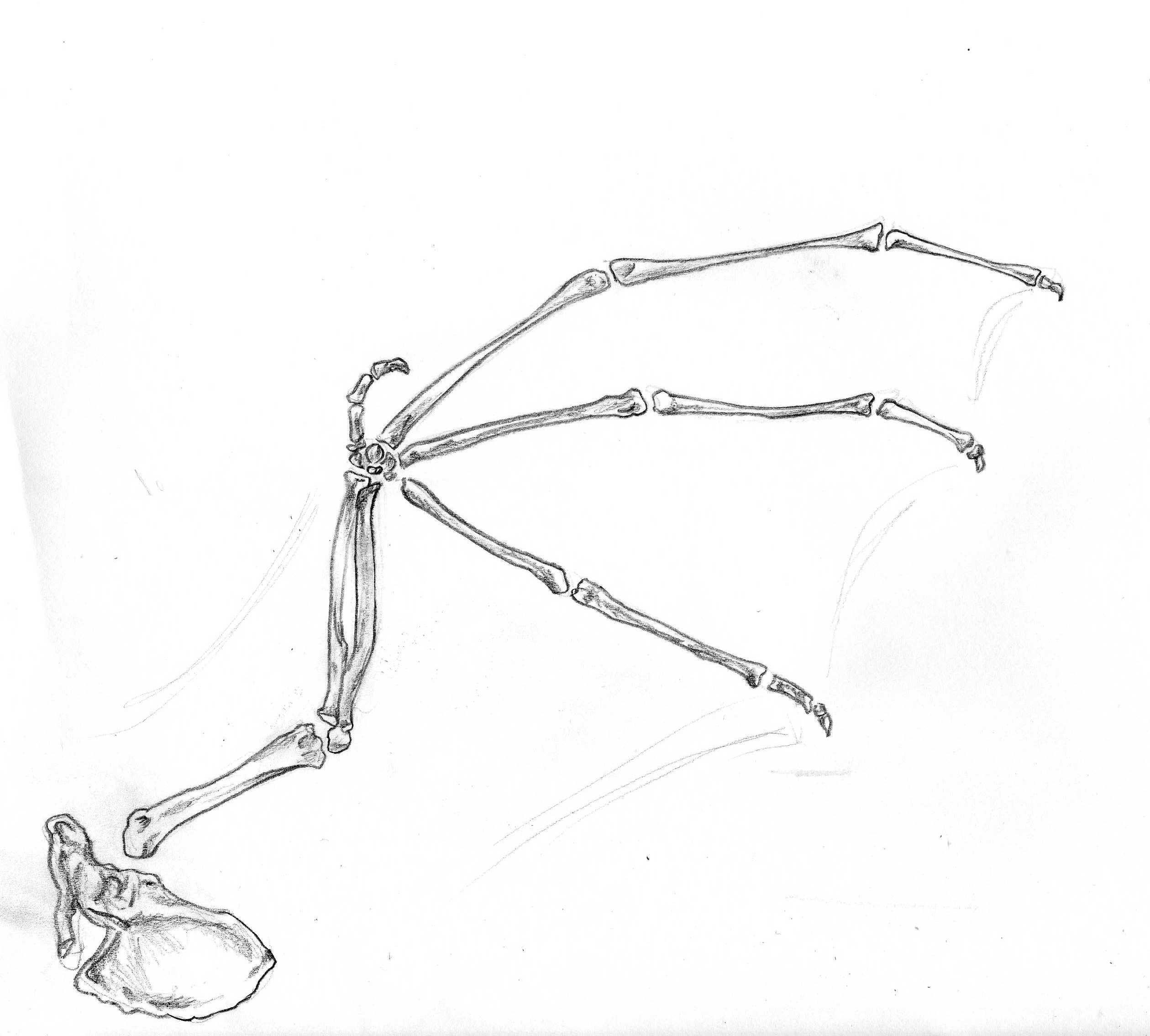 Bat wing bones | Wings | Pinterest | Bat wings and Mythology