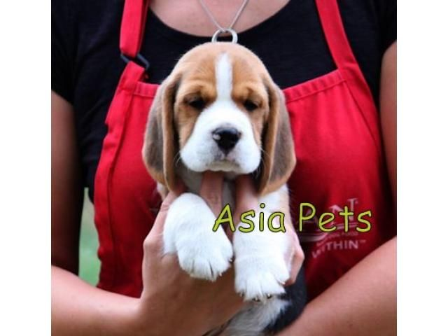 Beagle puppy price in Ahmedabad, Beagle puppy for sale in