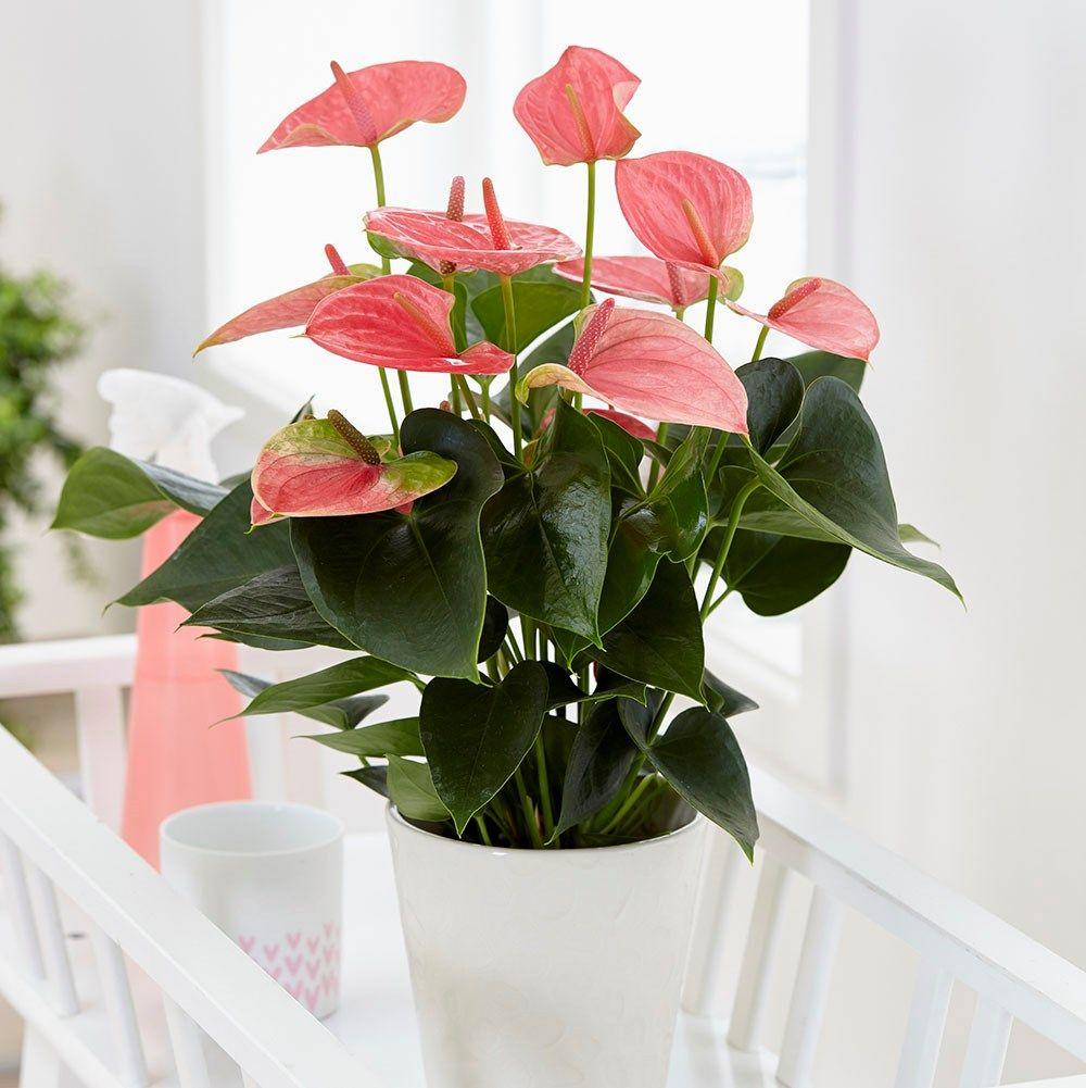 Anthurium Pink Champion Antinkeles Pbr Flamingo Flower In 2020 Anthurium Flamingo Flower Flowering House Plants