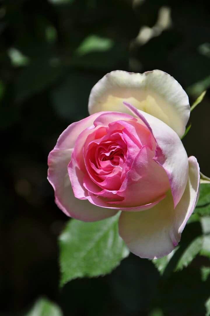 中心のピンクと外側の白とのグラデーションが とても可愛く美しいカップ咲きの銘花 初心者向きのつるバラ  ピエールドゥロンサール Pierre de Ronsard http://item.rakuten.co.jp/baranoie/c/0000000165/?force-site=pc