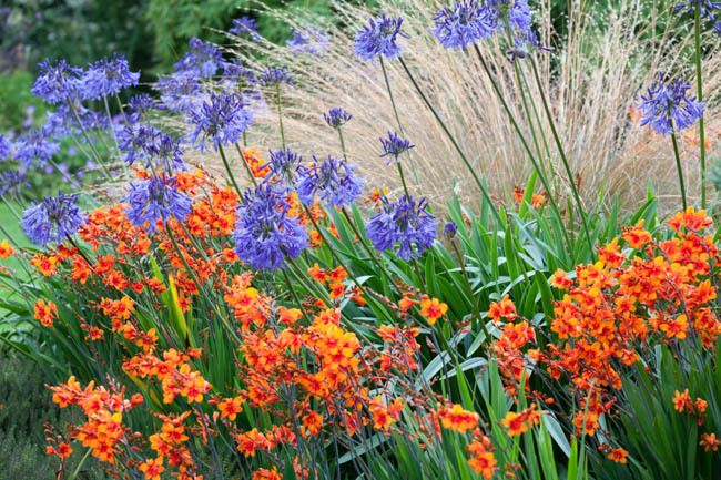 Garden Ideas, Border ideas, Perennial Planting, Perennial combination, Summer Borders, Fall Border, Crocosmia Lucifer, Montbretia Lucifer, Agapanthus Loch Hope, Crocosmia Bright Eyes, Chionochloa rubra,Red Tussock Grass