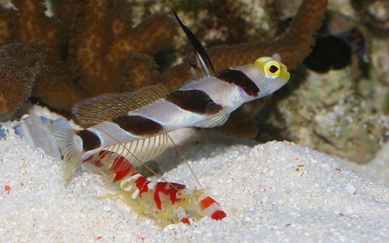 black ray shrimp goby stonogobiops nematodes and a randalls or
