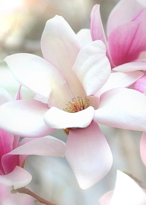Magnolia Flowers Greeting Card For Sale By Nathan Abbott Magnolia Flower Flowers Amazing Flowers