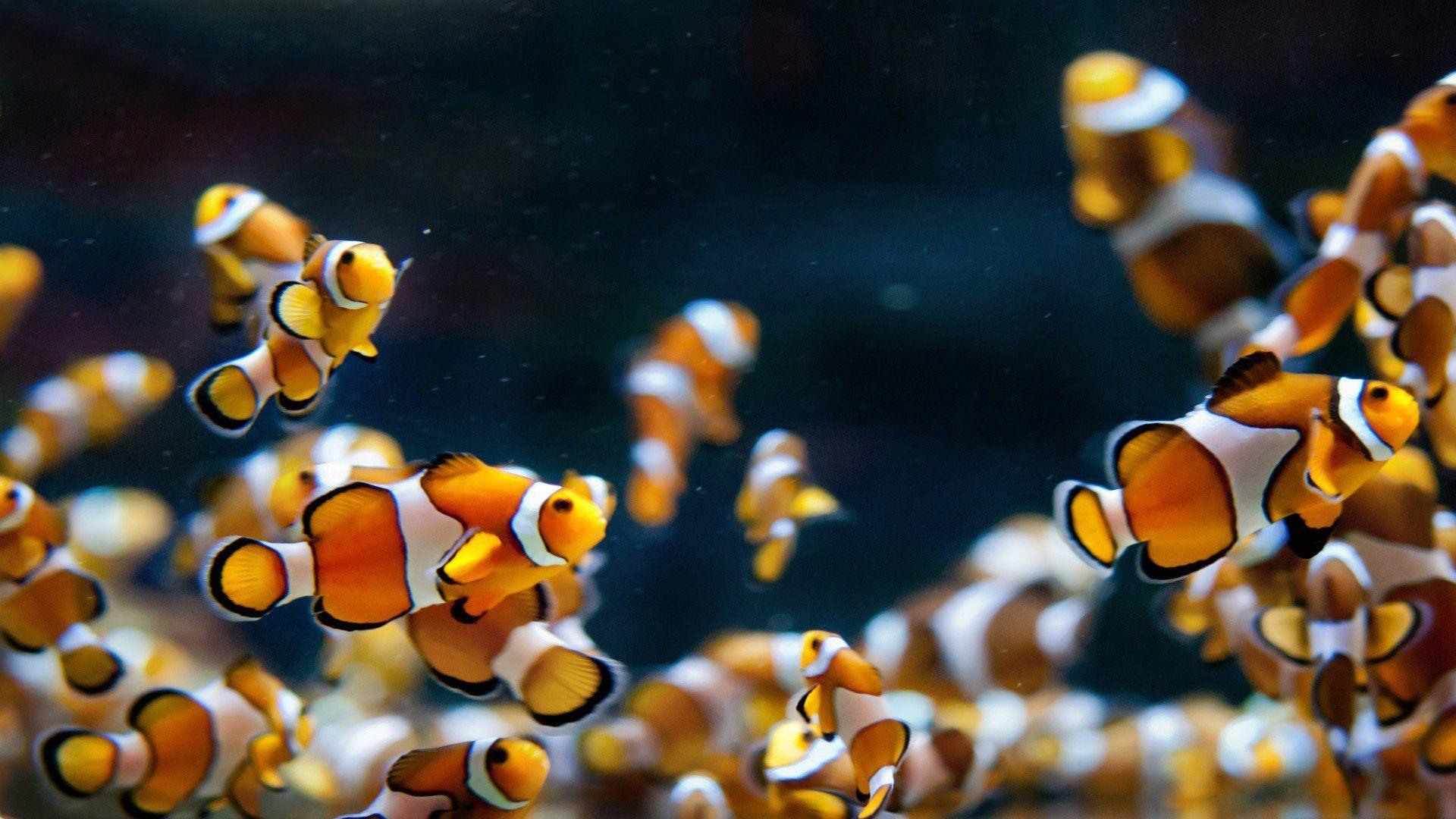 School Of Tropical Fish Hd Desktop Wallpaper High Definition