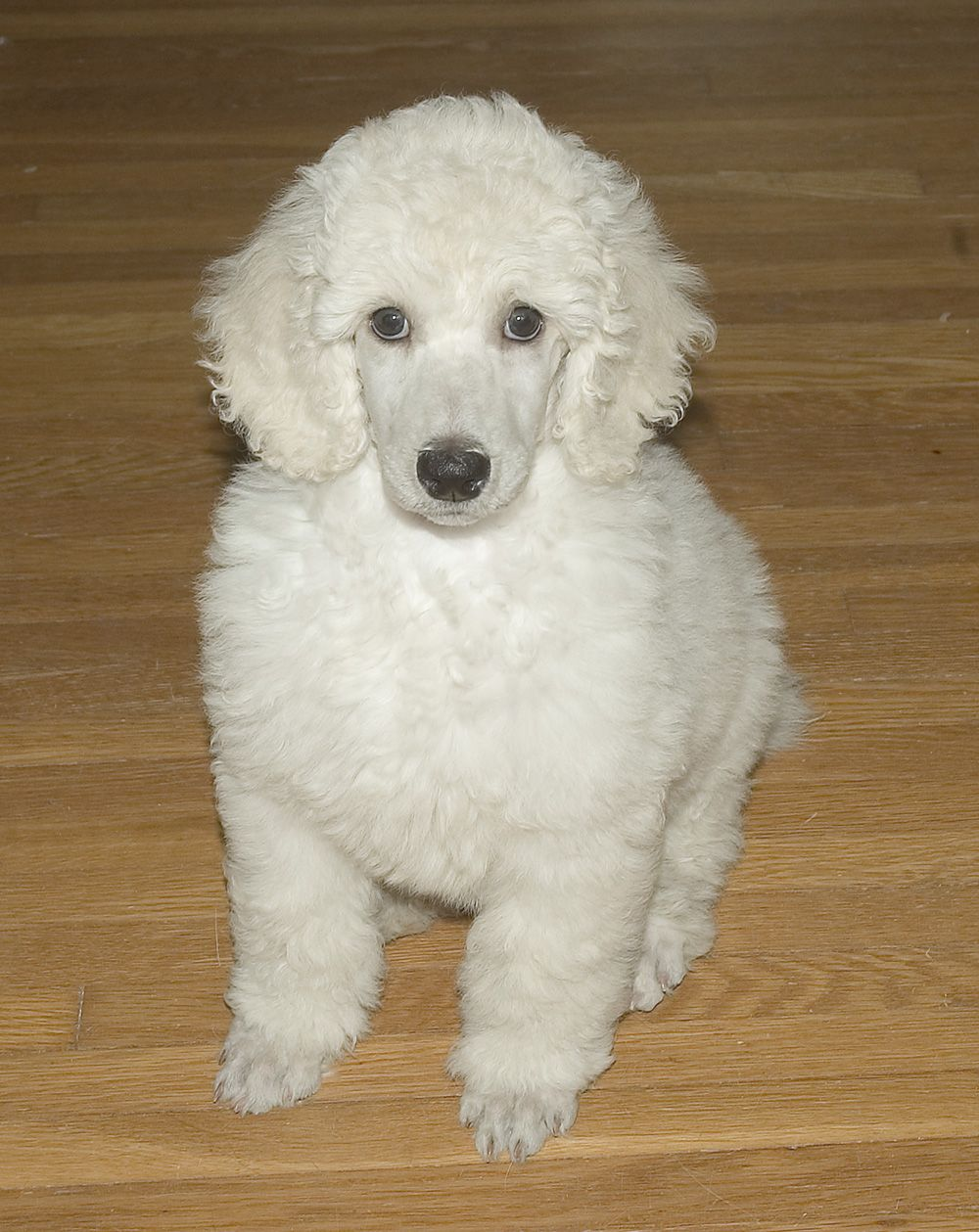 Baby Standard Poodle Too Baby Dog Poodle White Adorable