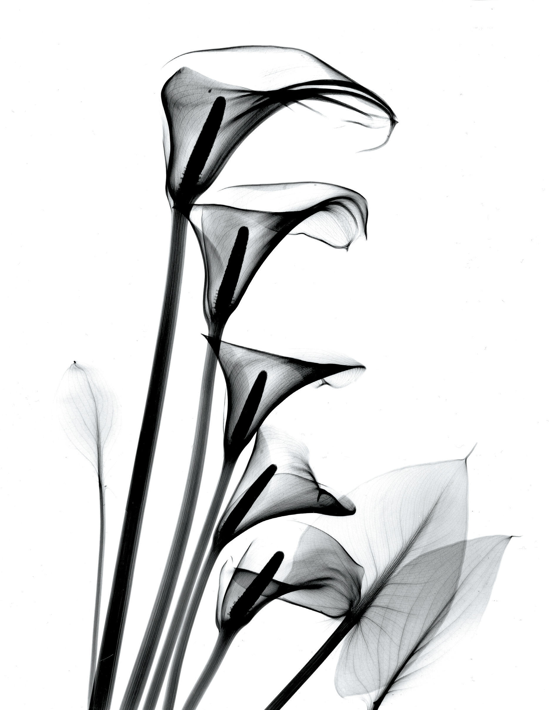 The calla lily is the beautiful flower with many symbolic