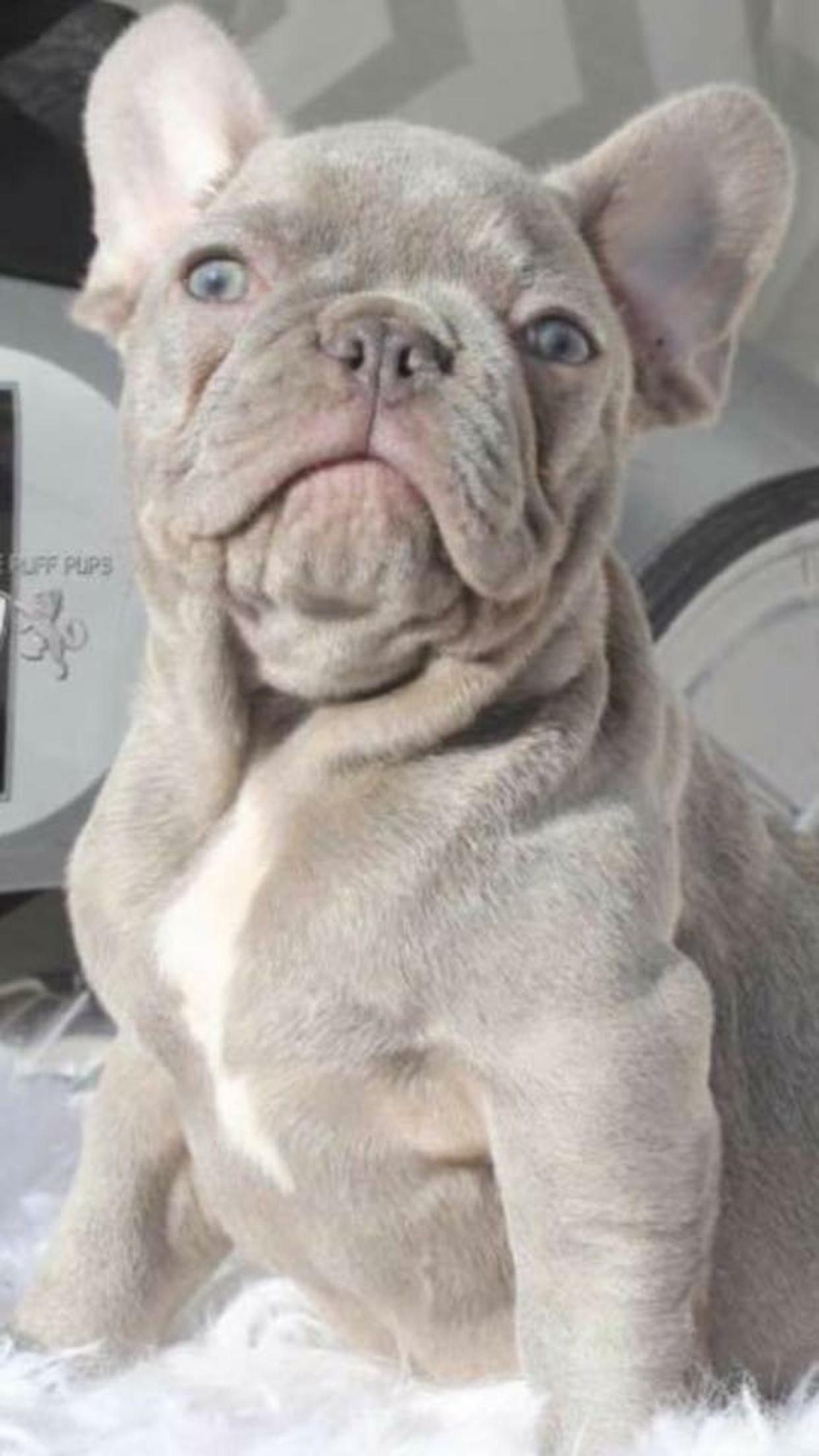 lilac french bulldog #buldog | dogs | lilac french bulldog, fawn