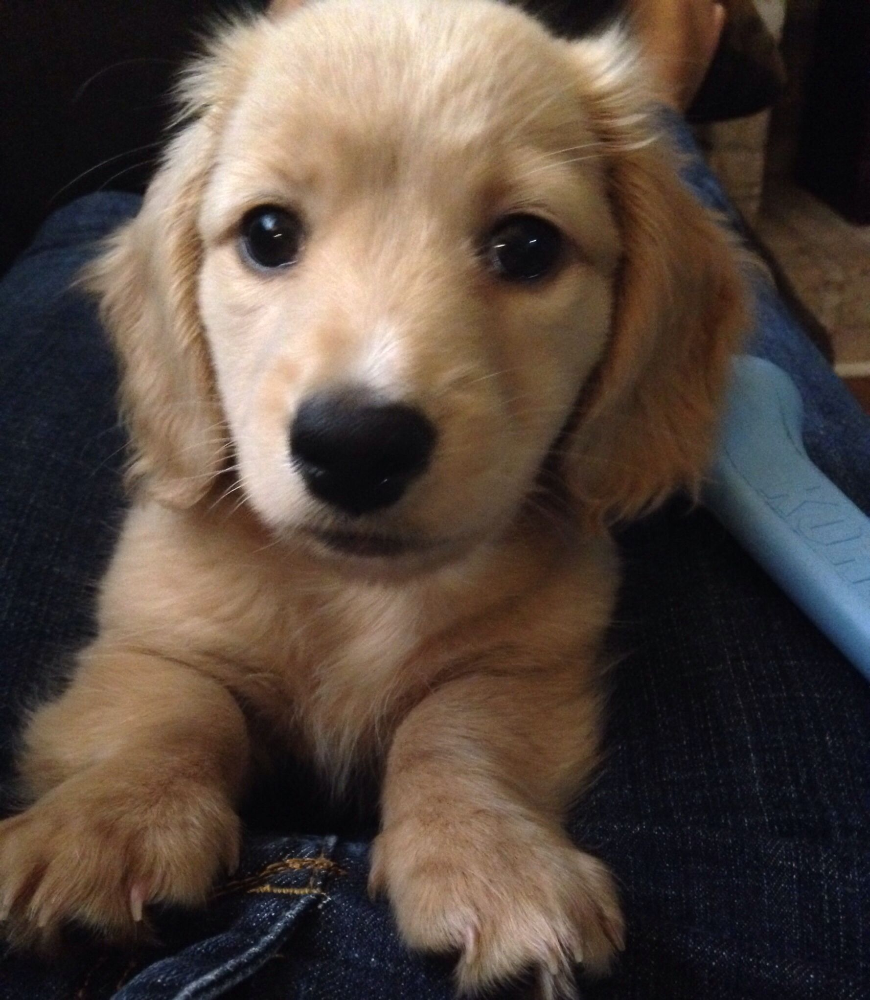 Remy Our English Cream Longhaired Mini Dachshund Puppies And