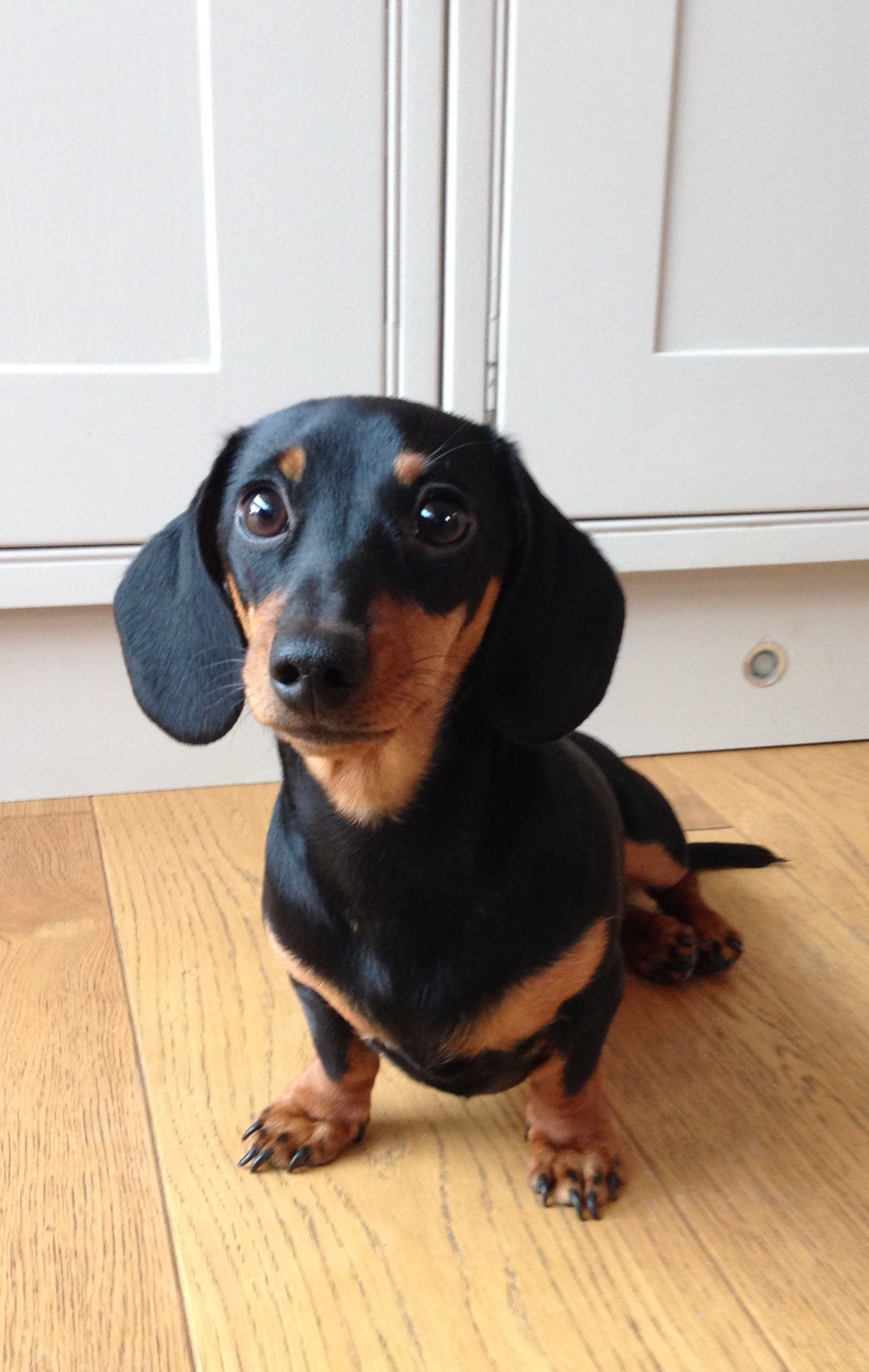 Come And Meet The Resident Dachshund At The Cotswold Craft Room