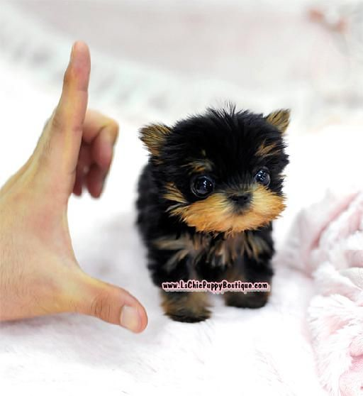 Colorado Pomeranian Maltese Yorkie Puppies Free Download Teacup