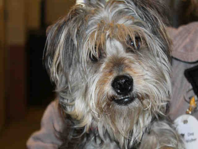 Milo Is An Adoptable Schnauzer Searching For A Forever Family Near Chicago Ridge Il Use Petfinder To Find Adoptable Pets In Your Area Chicago Ridge Pets