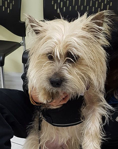 Cairn Terrier Dog For Adoption In Toronto On Adn 448085 On