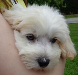 Adopt Ll Cool J On Poodle Mix Puppies Maltese Poodle Mix