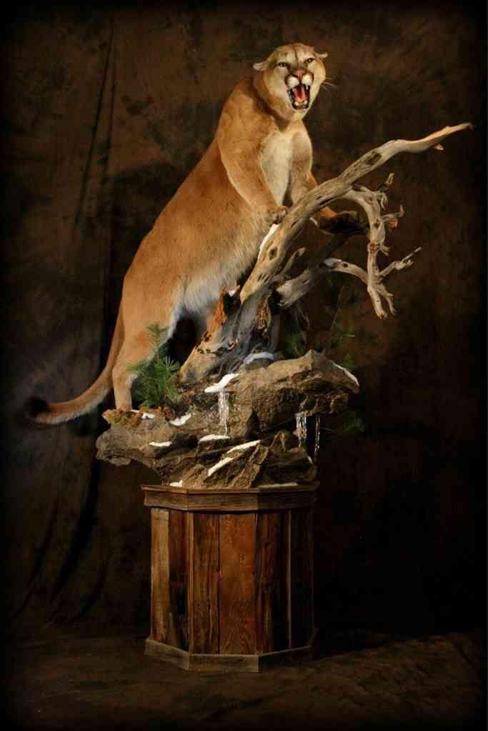 2 Mountain Lion Taxidermy Mount Google Search