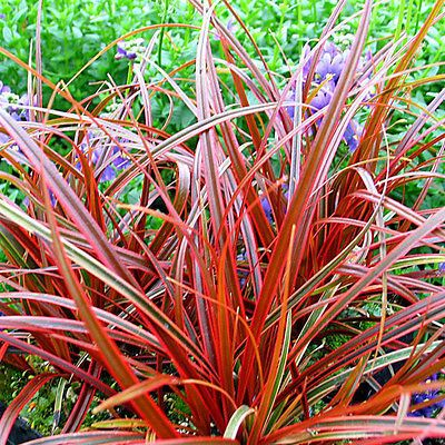 3 uncinia rubra red low grass plugs hardy evergreen for Red perennial grass