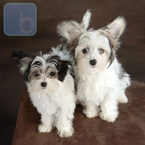 Papitese Papillon Maltese With Images Maltese Puppy Mix