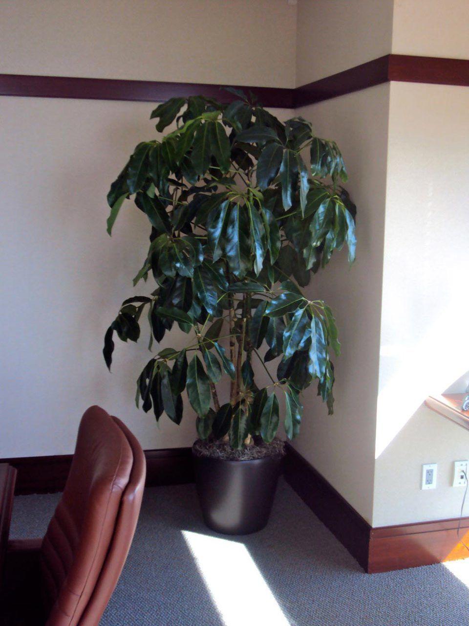 Schefflera amate or umbrella tree umbrella tree indoor