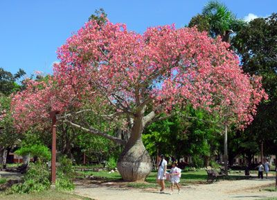 Ceiba Speciosa Silk Floss Tree Chorisia Speciosa Like By Diaism Acquire Understanding Attaism Tjann Atelier D Australian Plants Plants Plant Magic