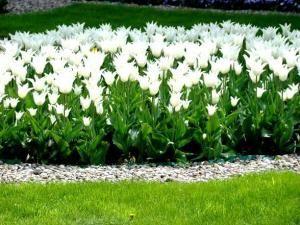 Biale Kwiaty W Ogrodzie I Na Balkonie Plants Garden