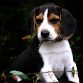 Free Teacup Puppies Teacup Beagle Puppies For Sale Beagle Dog