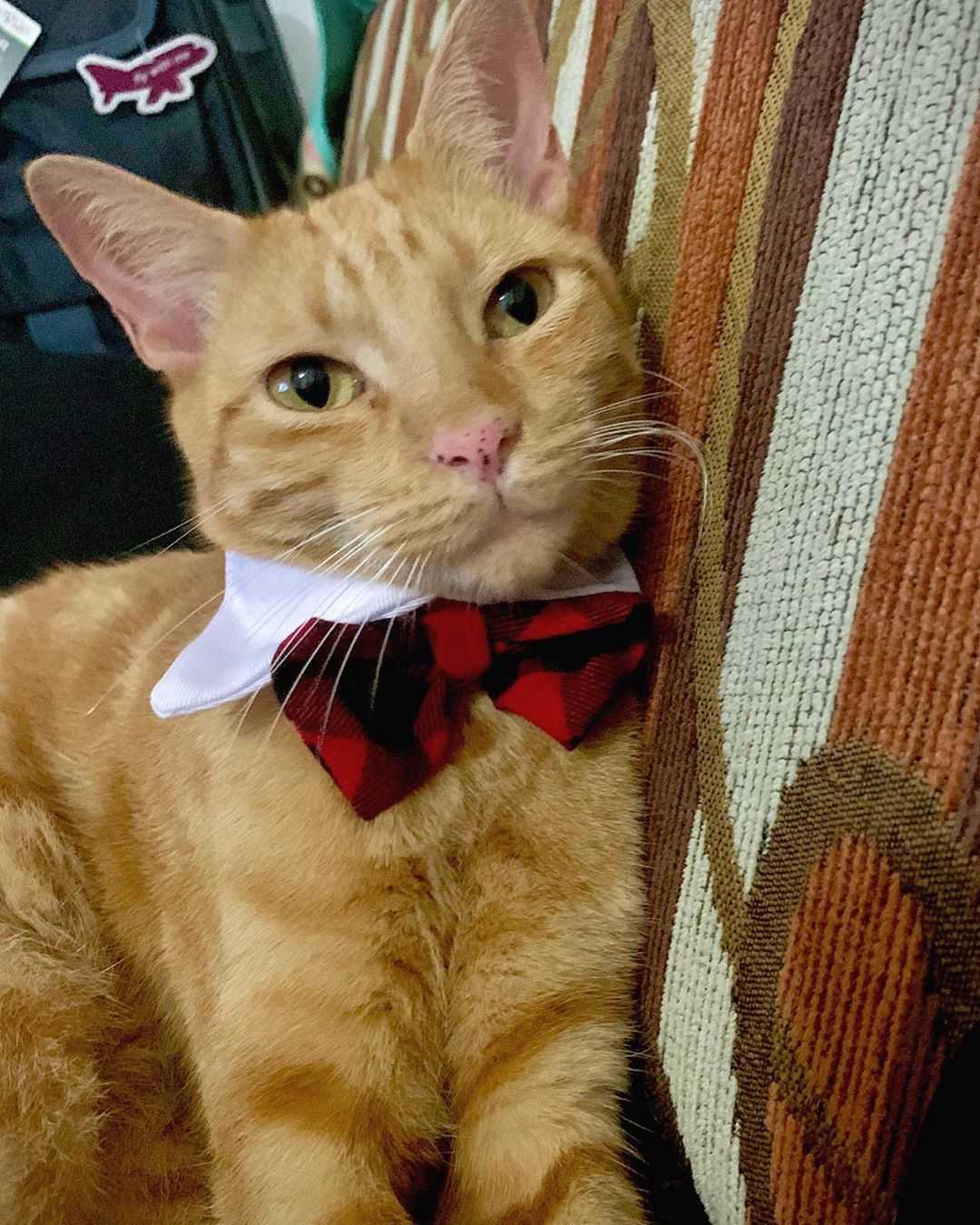 Vean que elegante me veo con este corbatín de @petcomexico  ya estoy listo para las festividades me invitan a sus fiestas  ////// Look how elegant I look with this bow tie from @petco  Im ready to party! Please invite me to your festivities  ////// #cat #cats #catsofinstagram #cats_of_instagram #cats_of_world #catstagram #cats_of_instworld #cats_of_day #gato #gatos #gatosdeinstagram #gatosgraciosos #cute #fun #happy #petco #petcomx #favorite #guapo #handsome #thinking #holidays #meaow #miau #cat