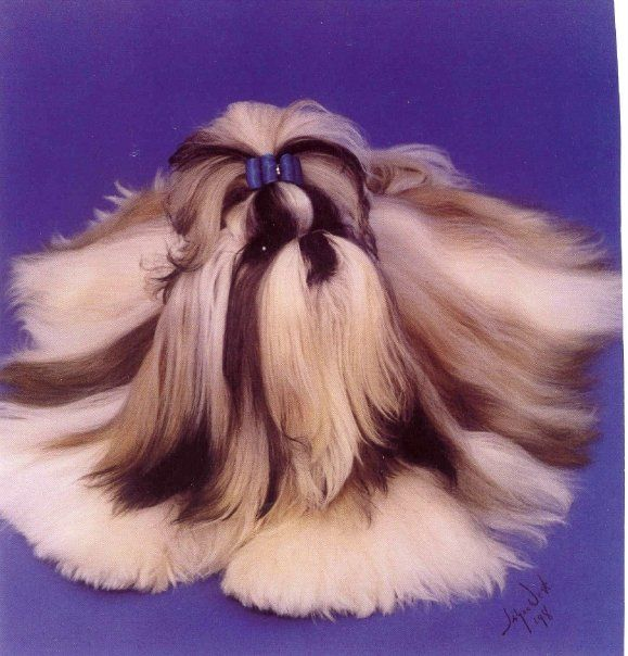Pin Auf Shih Tzu Things
