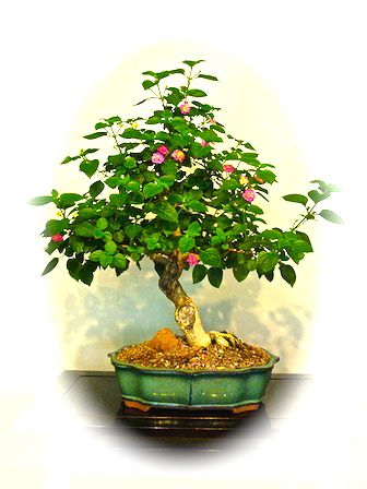 lantana-bonsai
