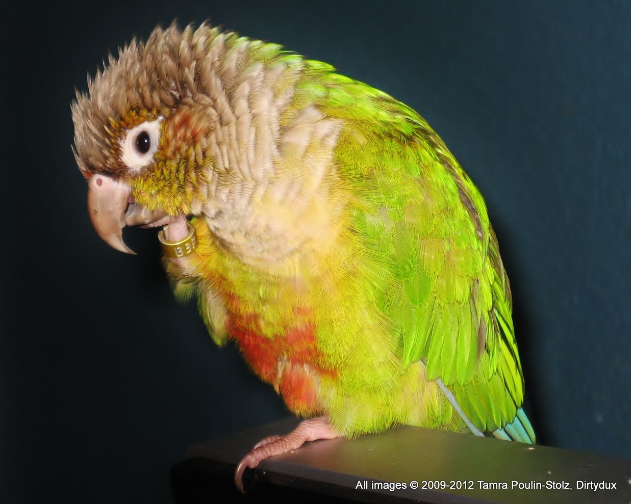 My Pineapple Green cheek conure or fancy Green cheek