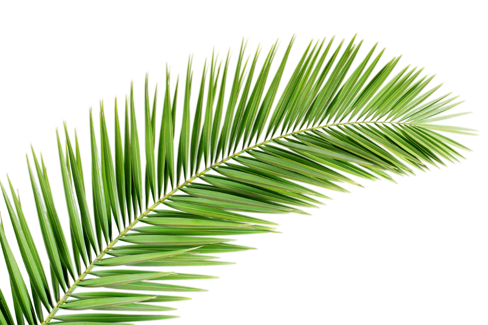 Palm Fronds Google Search Palm Leaves Palm Leaves