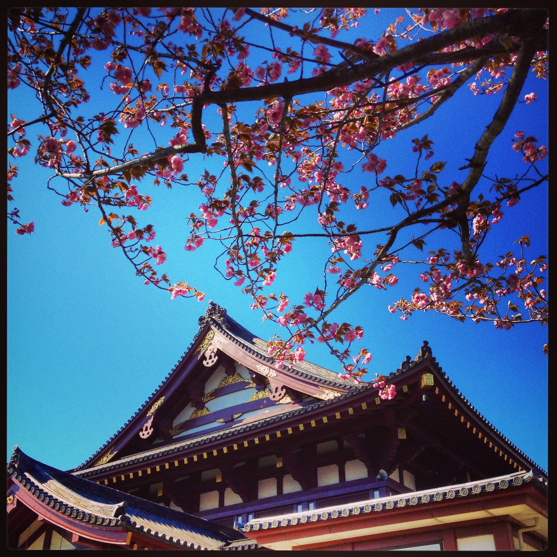 Shrine & Sakura