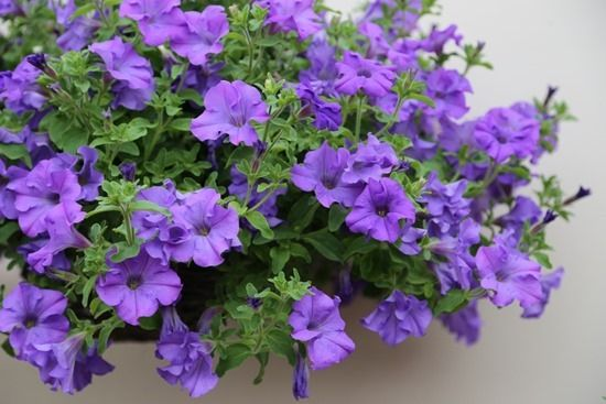 Petunia Surfinia Heavenly Blue Petunias Backyard Design