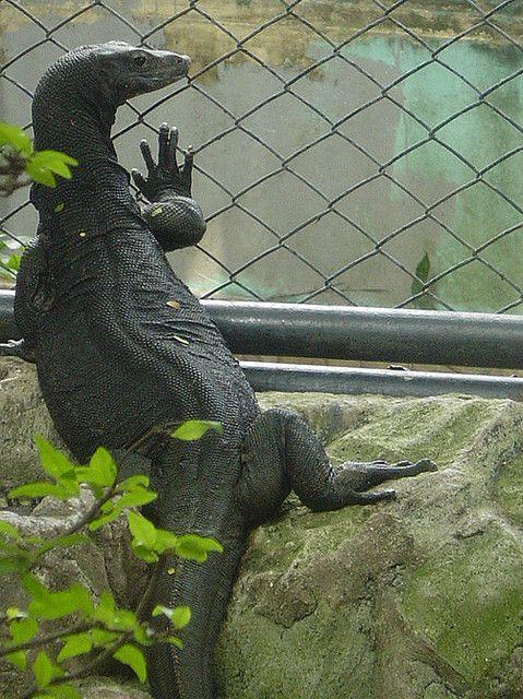 Black Komodo Dragon : black, komodo, dragon, Varanus, Salvator, Macromaculatus, (komaini), Animals, World,, Animals,, Reptiles