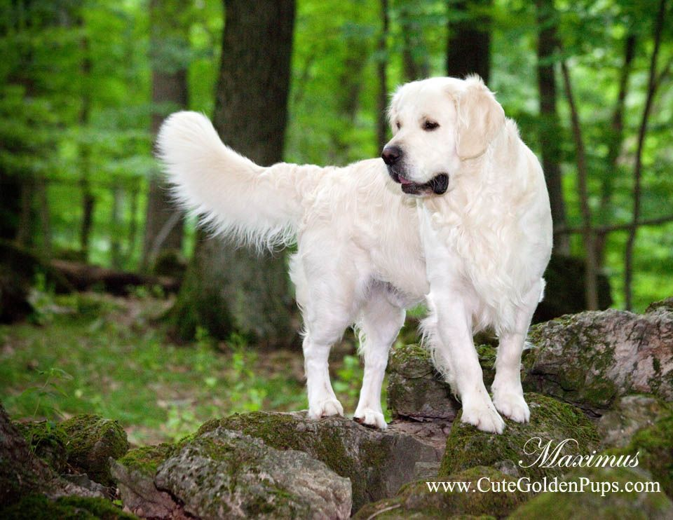 White Golden Retriever Puppies Ct English Cream Holistic Nj Md Ma Pa De Ny Ca Az Tx Wa Ri White Golden Retriever Puppy Golden Retriever White Retriever