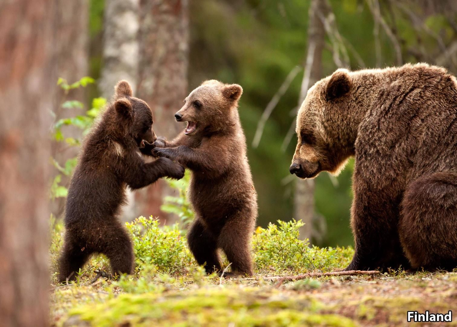 Did you know that the Eurasian Brown Bear is the national ...