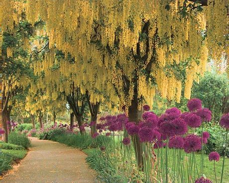 Voss's Laburnum - trees in Scotland