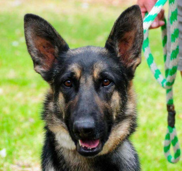 Adopt Sandy On Shepherd Dog German Shepherd Dogs Animals