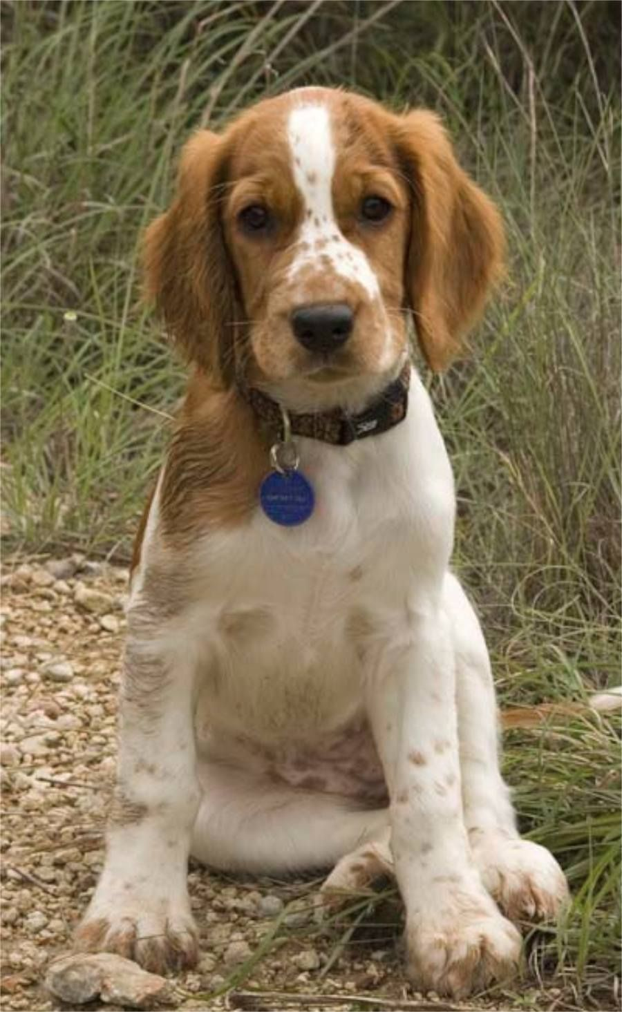 Welsh Springer Spaniel One Word For This Photo A Dor A Ble