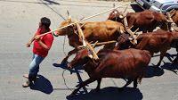 Festas de Carros de Boi: Encontro de Carros de Boi em Nazareno - MG