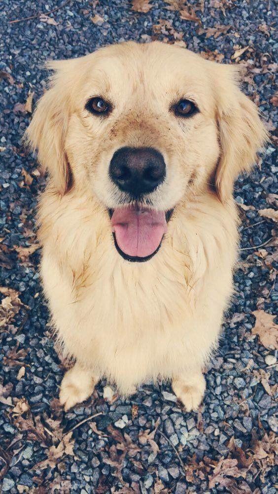 Pinterest Annagraceasbury Cute Puppies Retriever