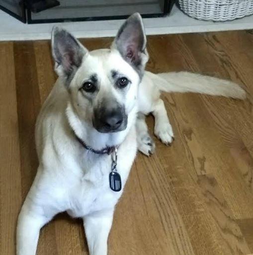 German Shepherd Dog For Private Adoption In Dallas Texas Adopt