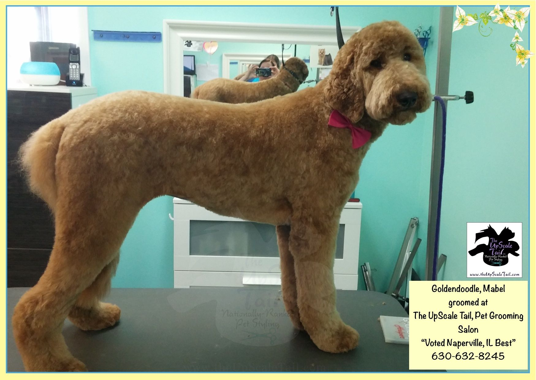 Mabel The Goldendoodle Groomed At The Upscale Tail Naperville Il Pet Grooming Salon Pet Grooming Grooming Salon