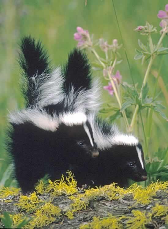 38+ Fat skunk info